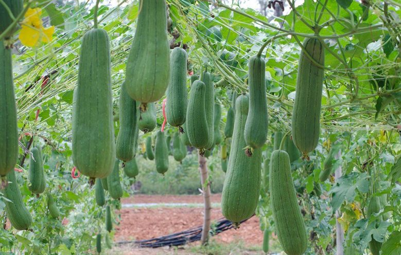 How to grow luffa gourds to make your own loofah sponge.