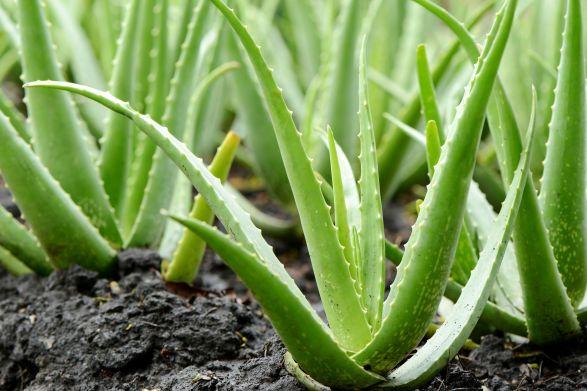 aloe_vera_plant_growing