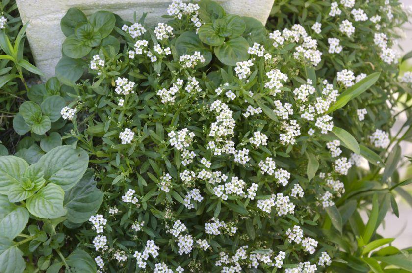 alyssum ground cover plants