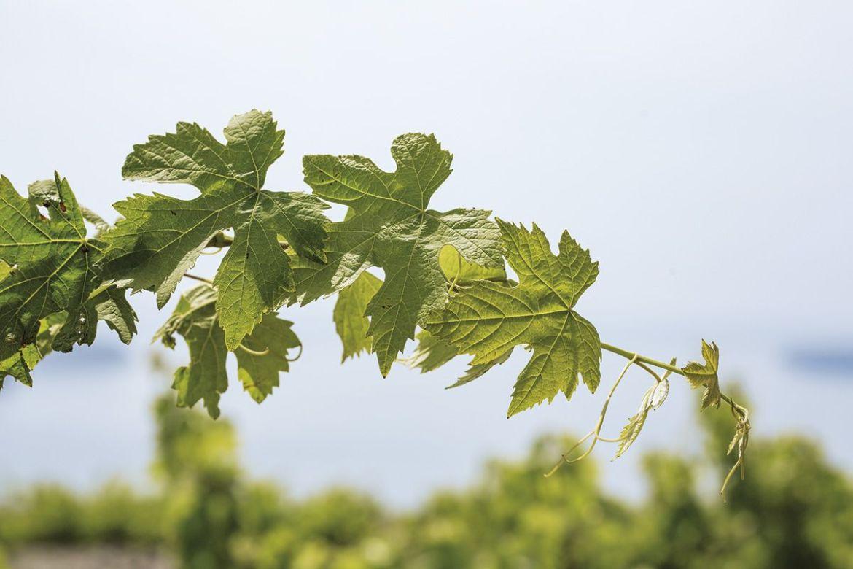 viñedos de santorini para ilustrar un tema sobre la nueva línea wine elixir de apivita tratamiento facial antienvejecimiento