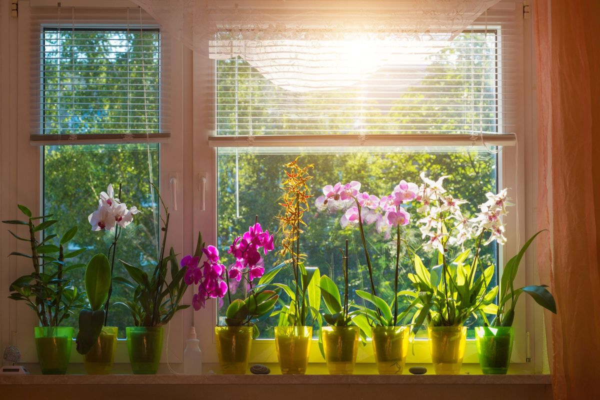 blooming phalaenopsis orchids on window royalty free image - HEALTH AND FITNESS