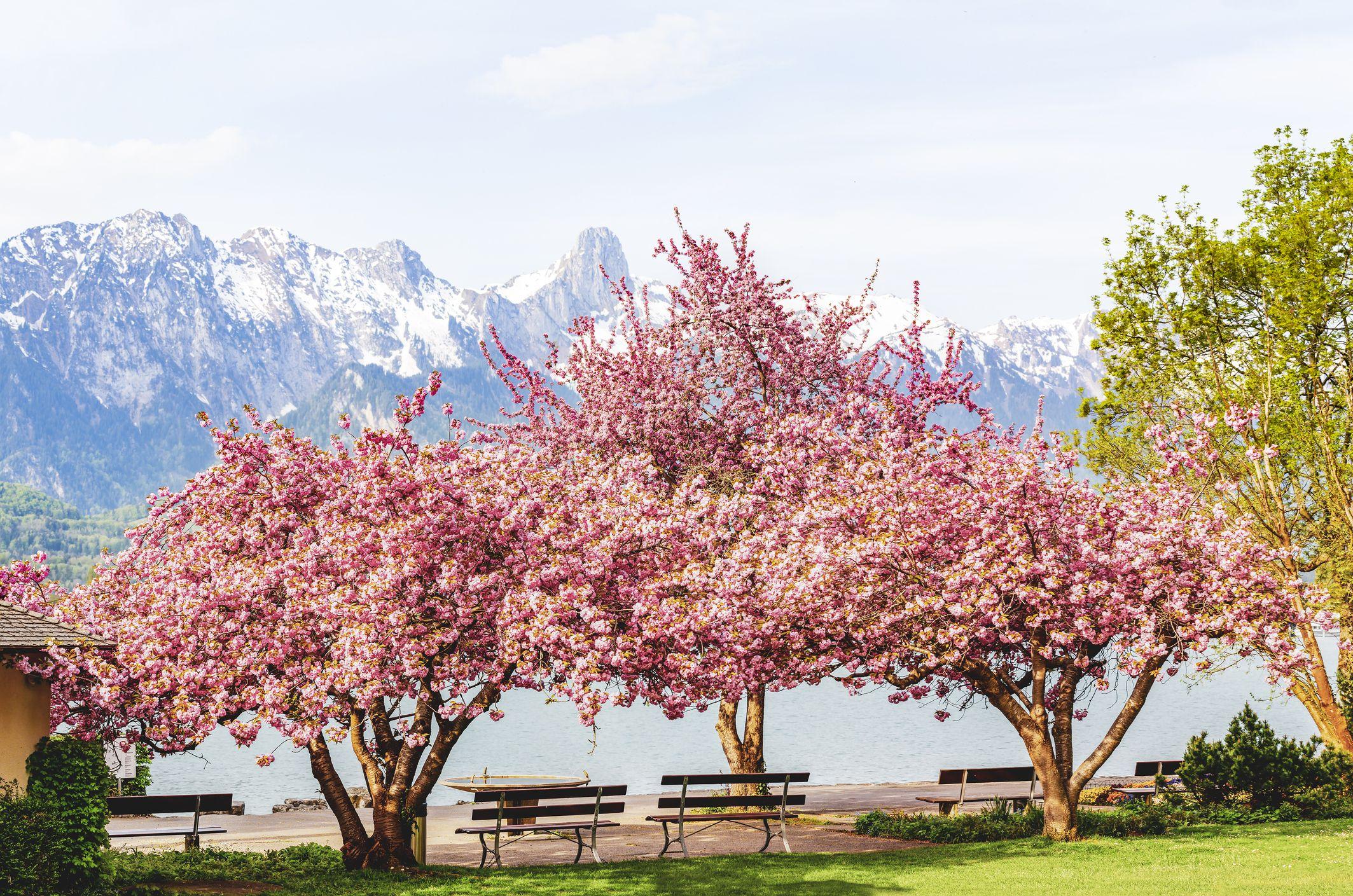Japanese Cherry Blossom Tree For Sale Novocom Top