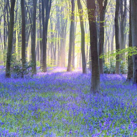 Blue Bell Flower Meaning In English | Best Flower Site
