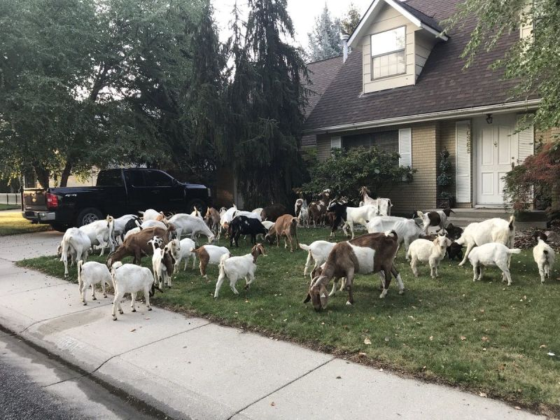 Several GOATs in Boise, Idaho Are Currently Having One Hell of a Friday Morning 1