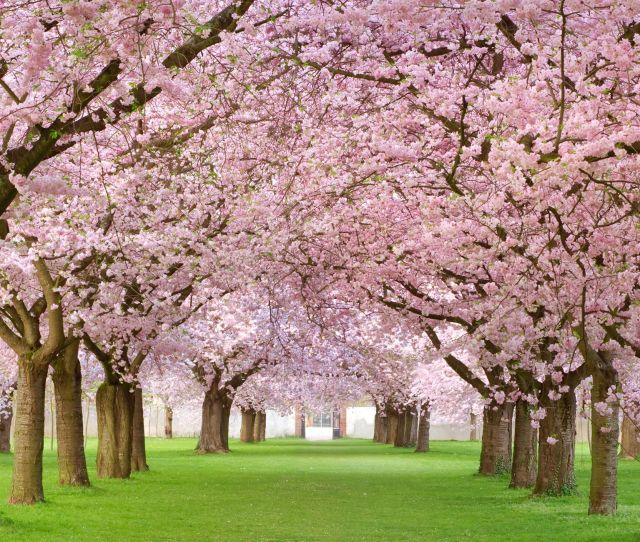 Cherry Blossom Tree Facts Things You Didnt Know About Cherry Blossoms