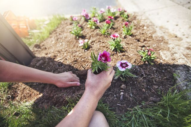 childs hands planting flower royalty free image