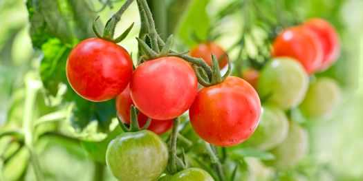 Image result for beautiful cherry tomatoes garden