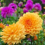 38 Best Summer Flowers Beautiful Flowers That Bloom All Summer