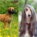 Dog Breeds That Look Different As Puppies