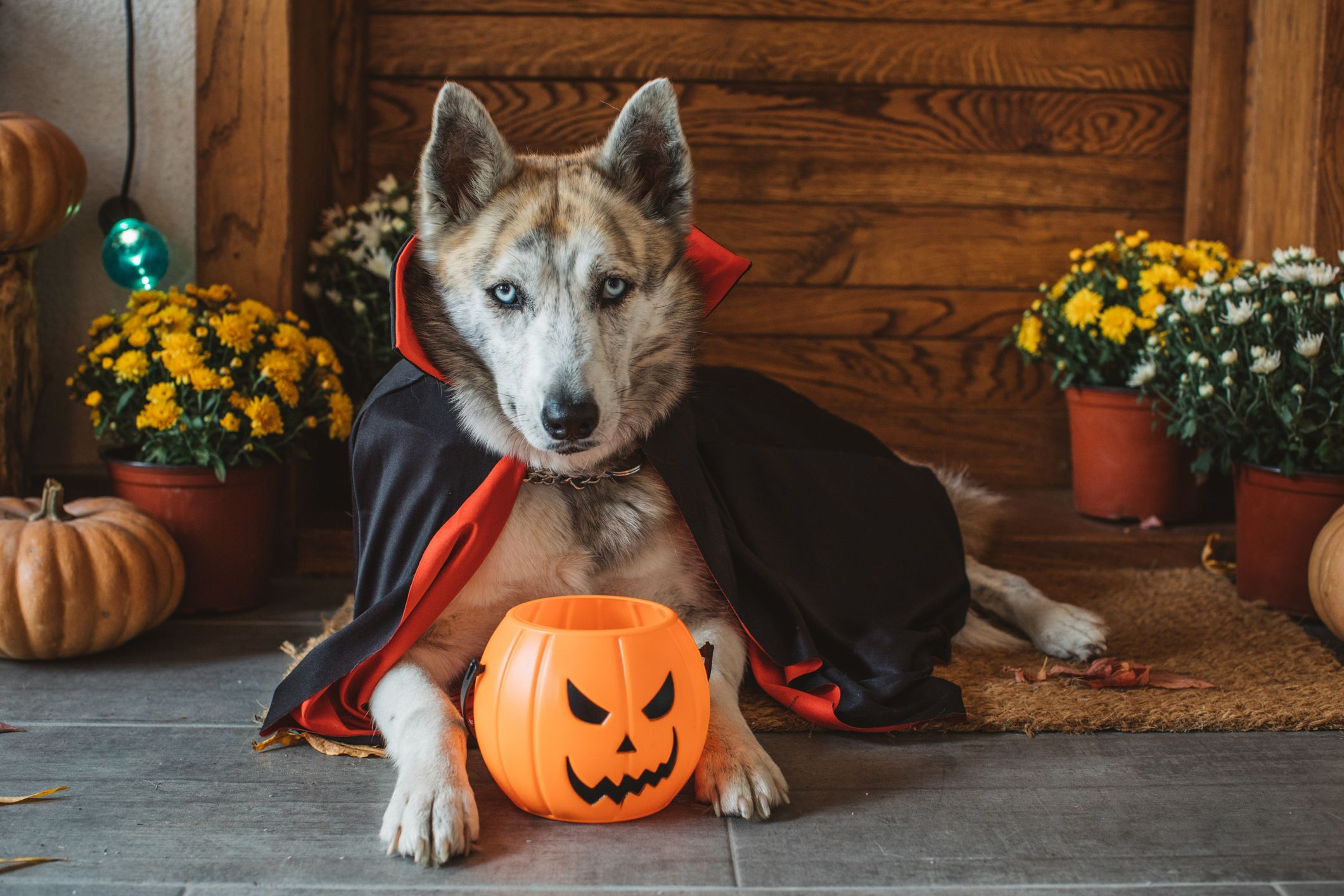 The rubie's costume company harley quinn dog costume goes perfectly with the rubie's mexican dog & cat serape. 53 Best Dog Costume Ideas Diy Pet Halloween Costumes