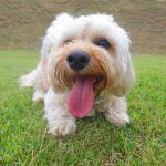 Best Tiny Dog Breeds Most Popular Small Dog Breeds