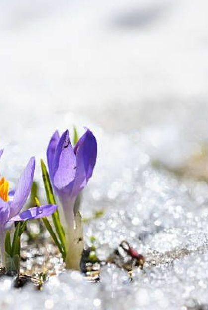 early spring crocus in snow series group of flowers shallow depth of field