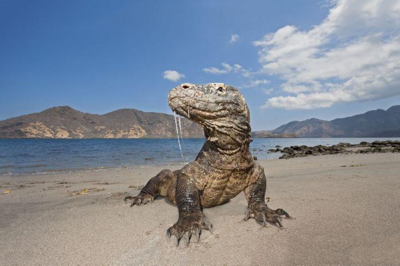 dragón de Komodo.