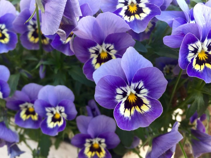 22 Purple Flowers for Gardens - Perennials & Annuals With Purple Blossoms