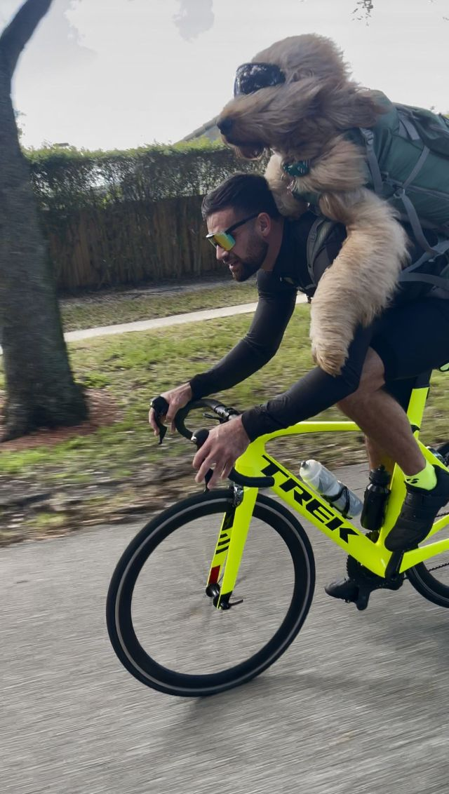 brodie the bike riding goldendoodle
