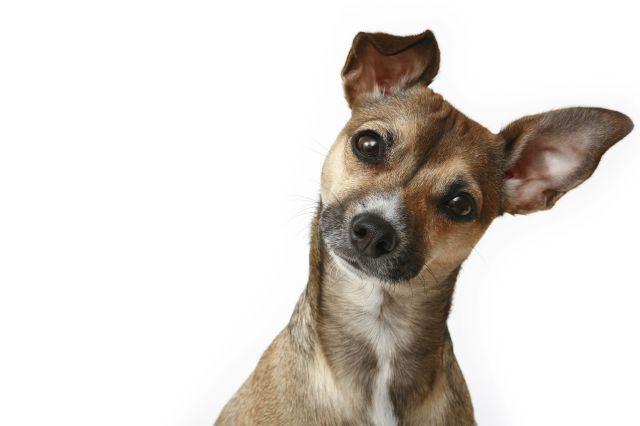 Chihuahua escuchando