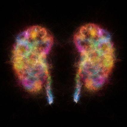 Human kidneys, illustration