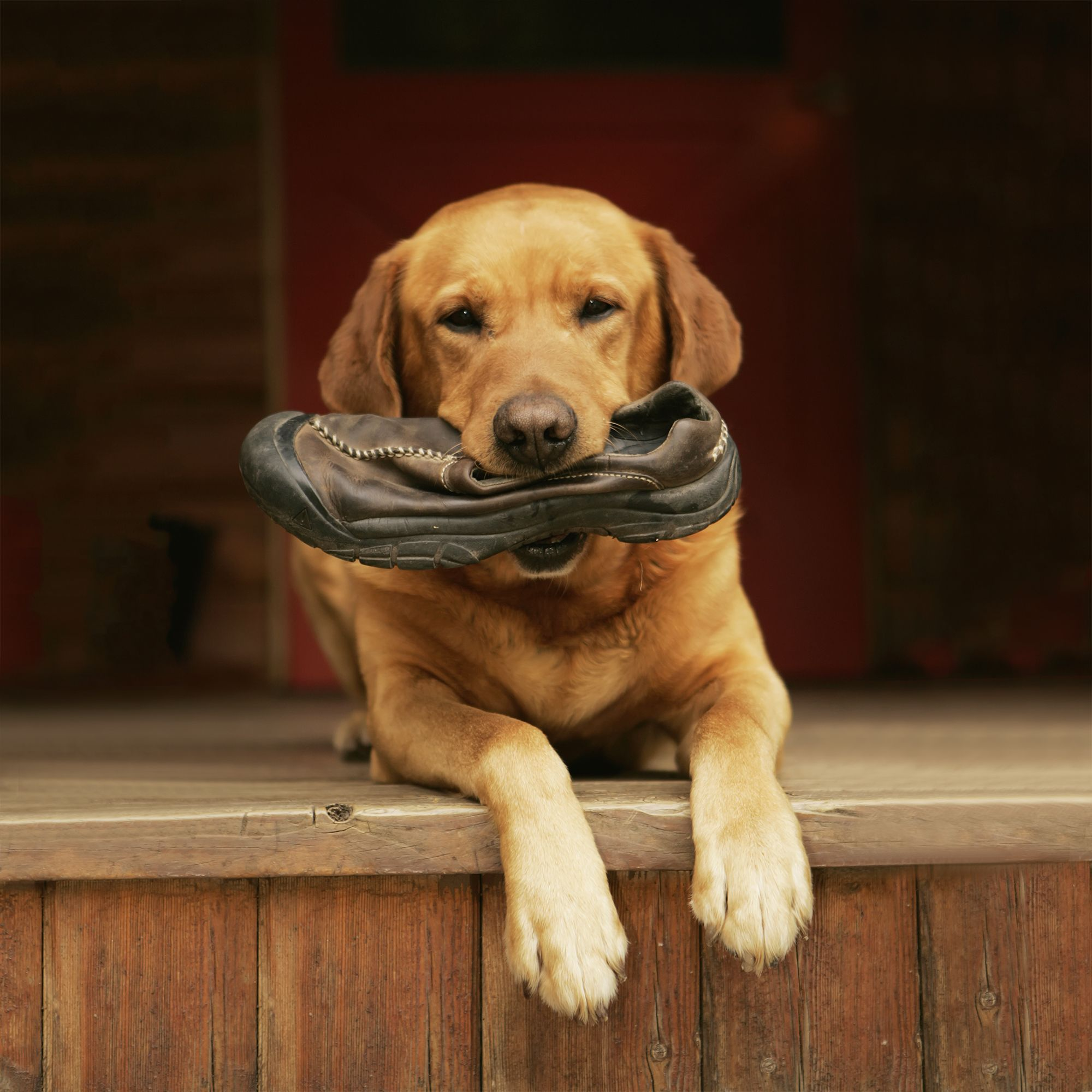 rusty red yellow lab with shoe in mouth