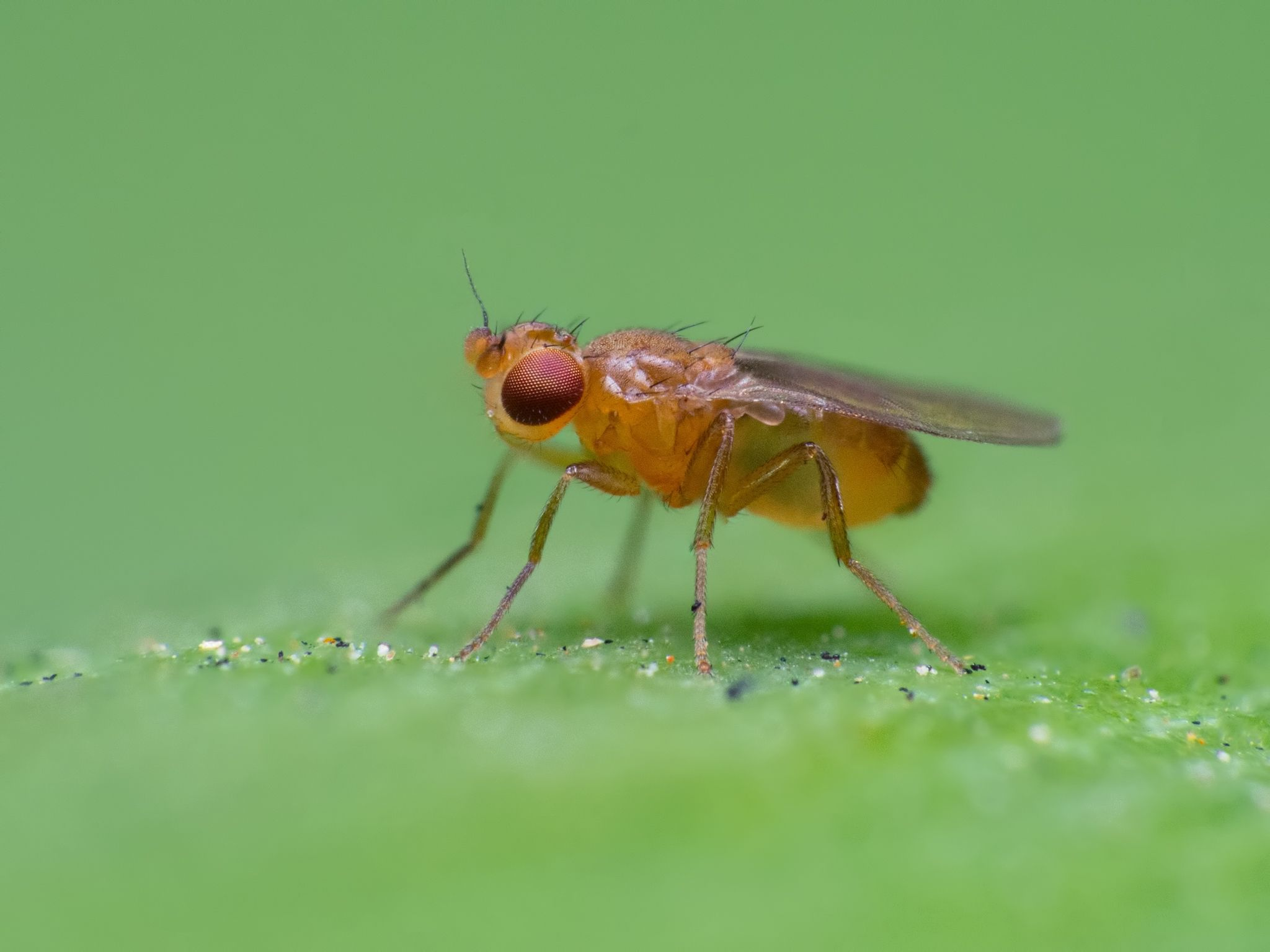 how to kill fruit flies in your drain