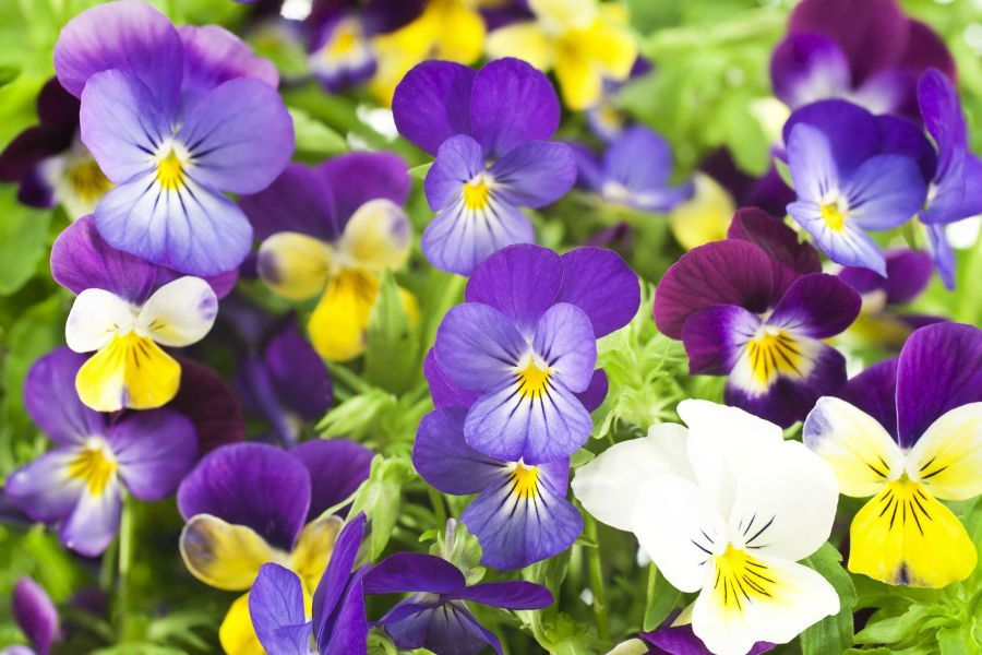 How to Grow Pansy Flowers   When and Where to Plant Pansies pansy flowers