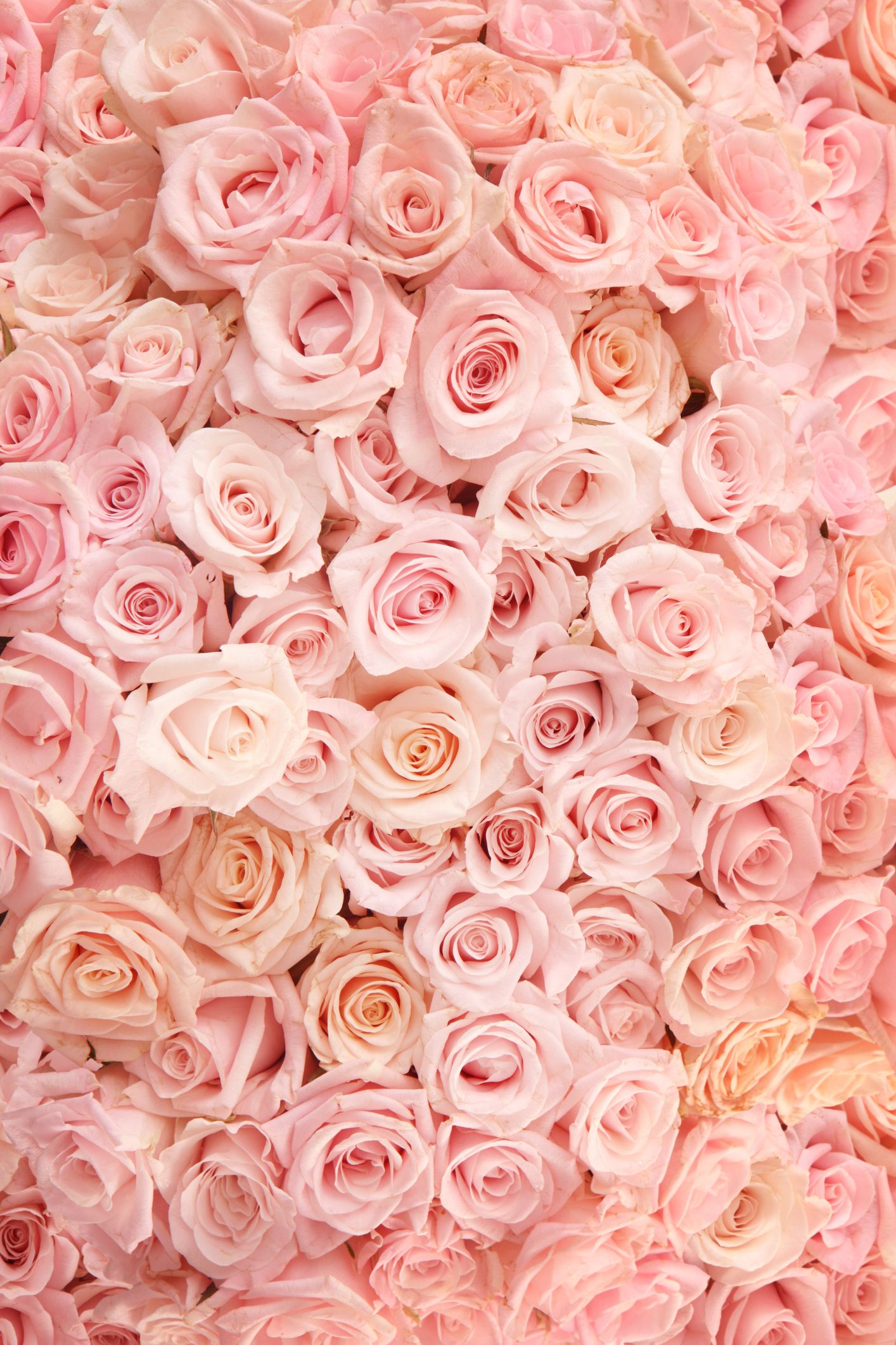 21 Special Rose Color Meanings - Rose Flower Meanings for Valentine's Day