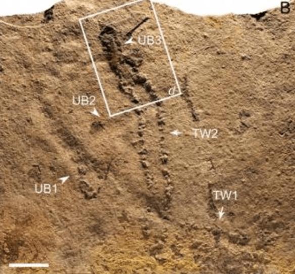 edicaran fossil