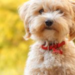 Purchase Teddy Bear Dogs Near Me For Sale Up To 72 Off