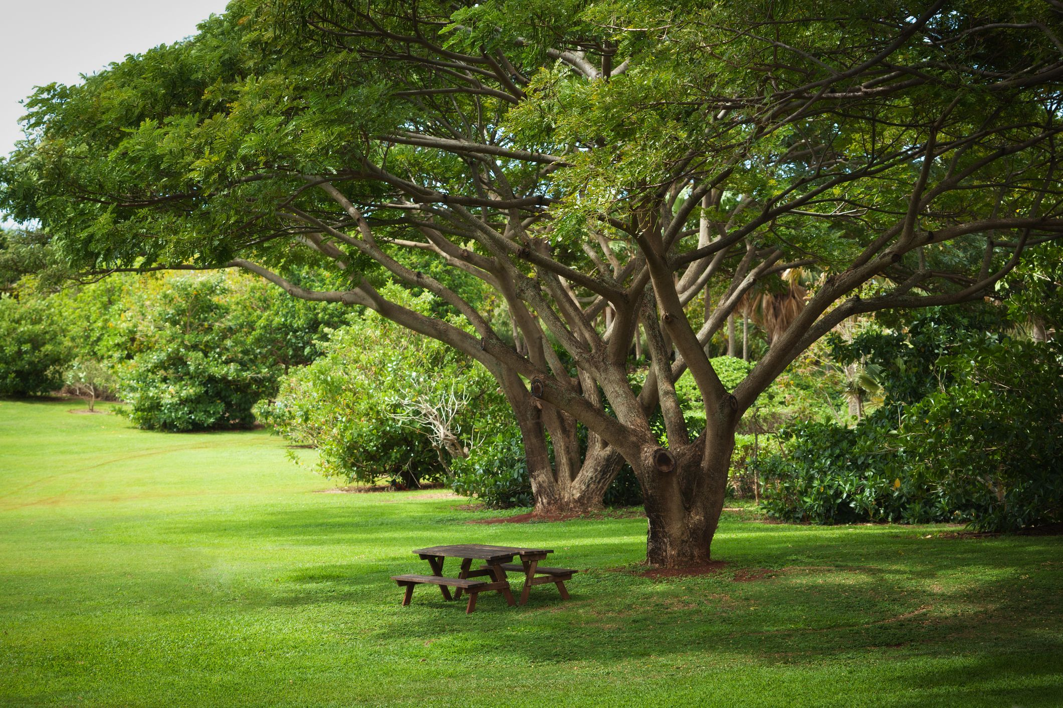 10 Fast Growing Shade Trees For Dappled Sunlight Where You Want It