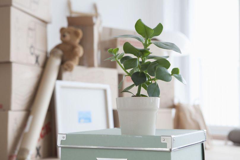 Cajas de mudanza mybox-mb.com planta plana, en maceta en primer plano