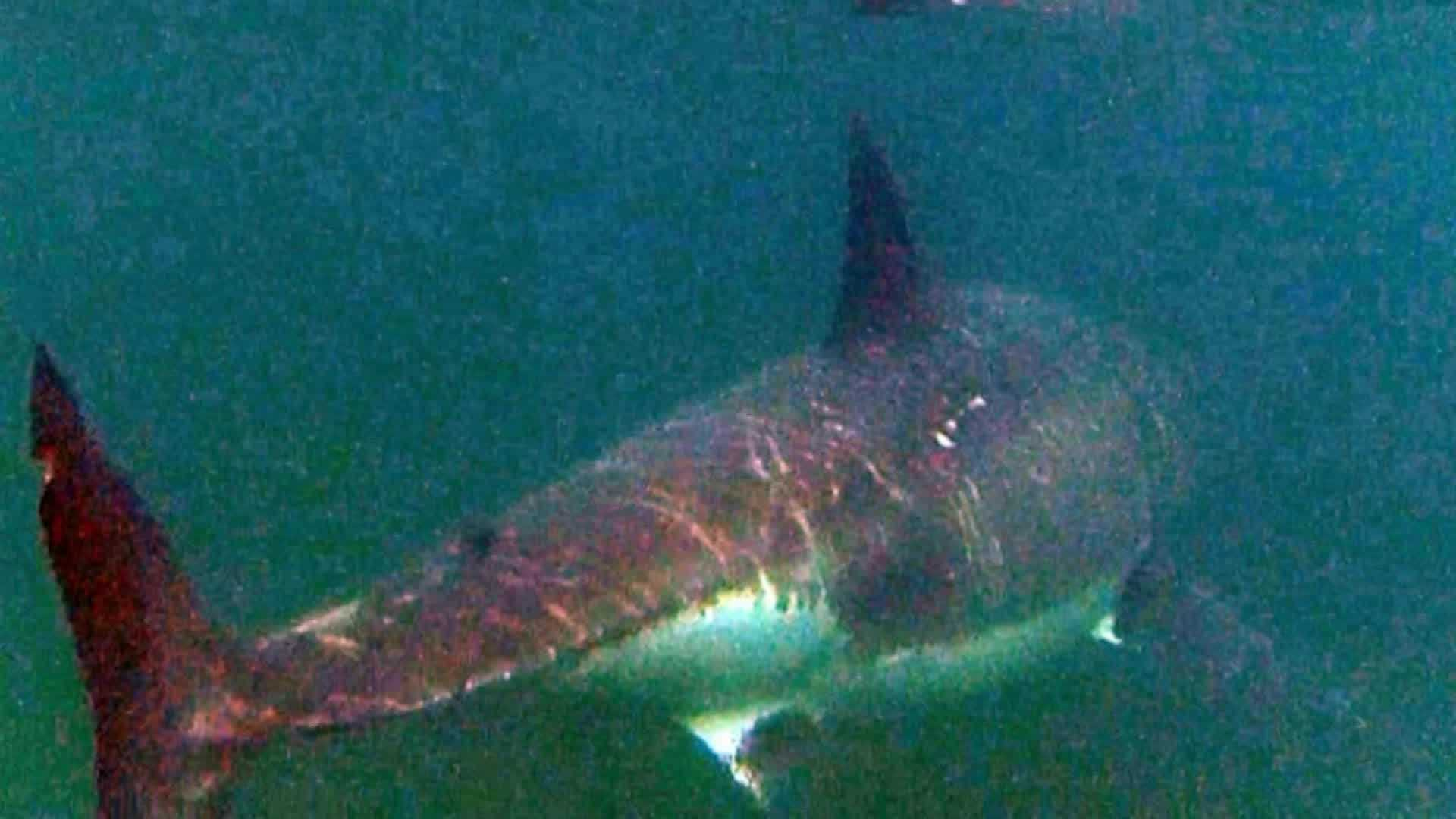 At least 10 great white sharks spotted off Cape Cod