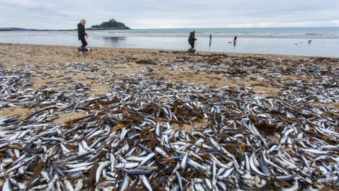 """TV: Millions of dead sea creatures wash ashore in Hawaii — Carcasses found along miles of beach — """"That should trigger some alarm"""" — """"I don't know what's going on over there… I've never seen anything like this"""" (VIDEOS)"""