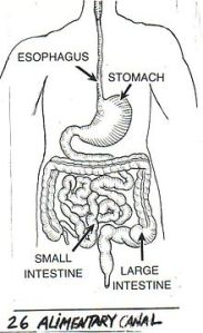 alimentary_canal