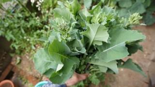 ファミリー菜園広場の草マルチと育苗箱の間引きとのらぼう菜の初収穫!