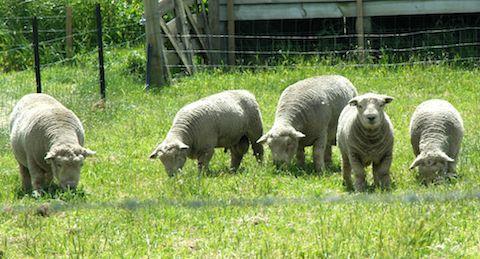 Baby Doll sheep on weed patrol at Yealands