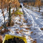 Icewine: Is it Worth it?