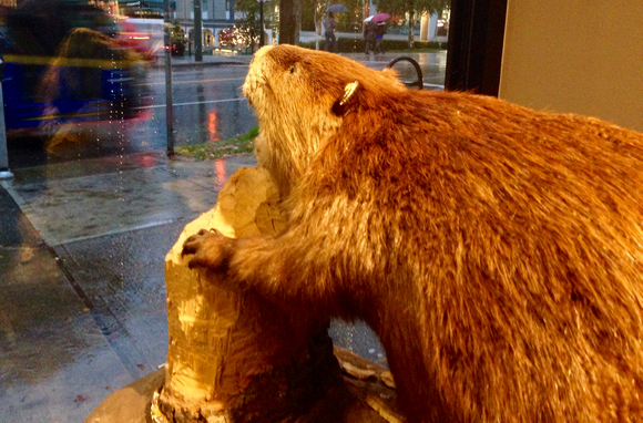 Timber's 'doorman': Bucky the Beaver keeps watch over Robson