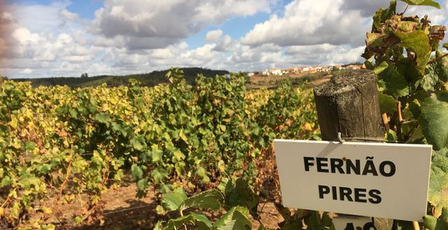 In Lisboa, Ferñao Pires is a white grape often blended with Arinto or Chardonnay