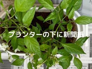 唐辛子の植木鉢の下に新聞紙