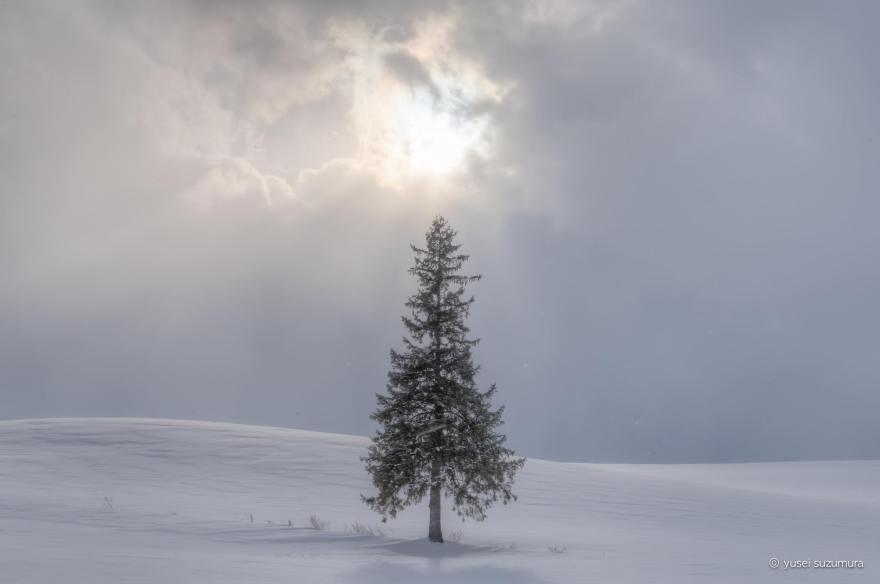 クリスマスツリーの木 冬 美瑛