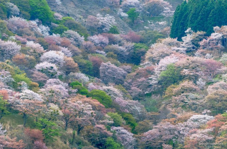 観光車道 吉野山 桜