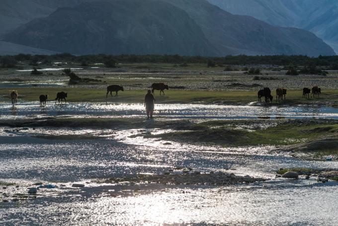 牛 放牧 フンダル 2