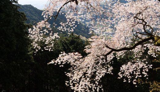 神奈川の丹沢大山のふもとで樹齢400年の大山桜を見てきた!