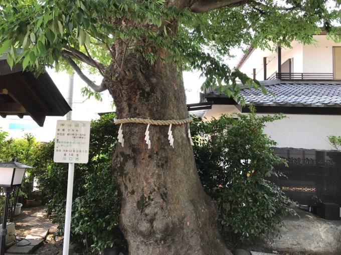 前川神社御神木