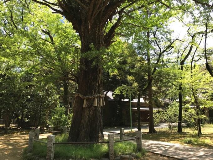 赤坂氷川神社御神木
