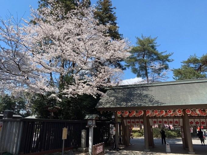 櫻木神社桜の木2