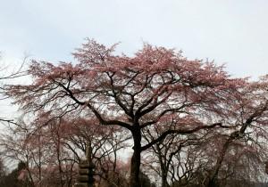 佐野さんの桜