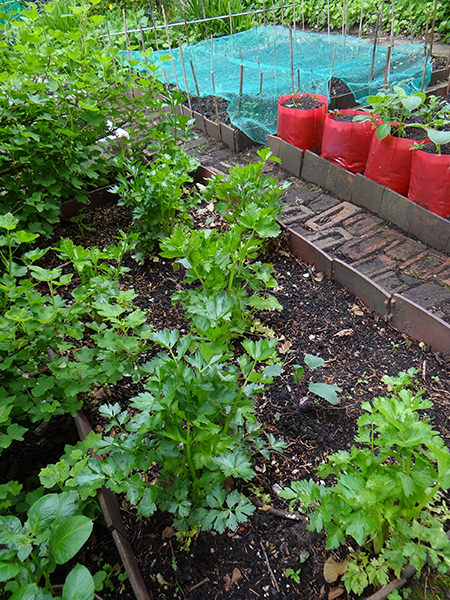 Last year's celery still growing on our allotment in May 2015