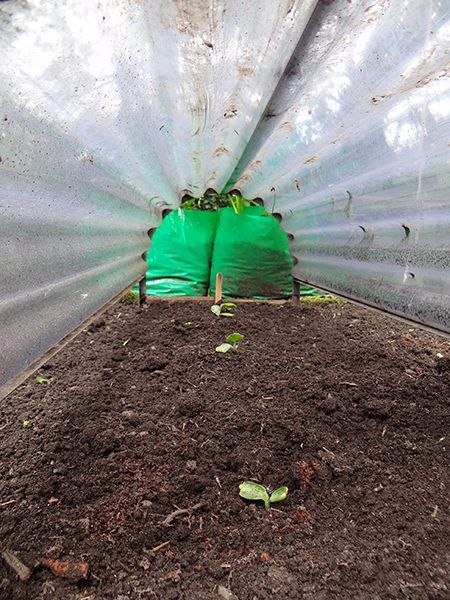 Growing squash seedlings under a cloche on our allotment in May 2015