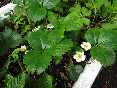 Strawberry plants flowering on our allotment in April 2015