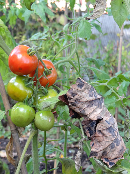 ripening tomatoes on our allotment